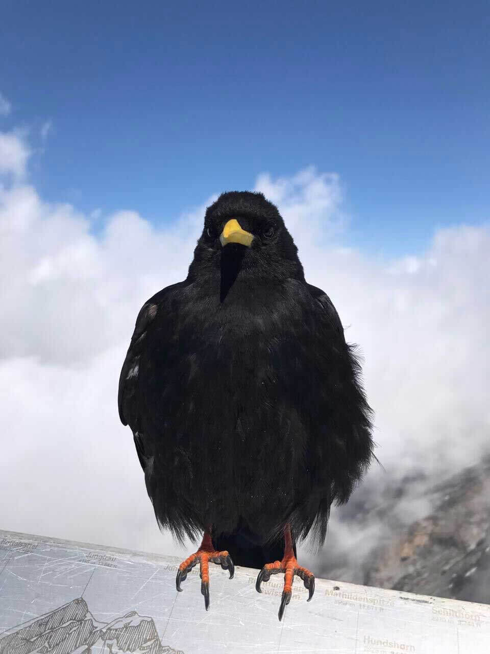 The Crow on Top of the Alps