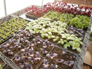 Flowers & herbs in greenhouse