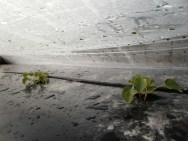 Melon plants surrounded by plastic for warmth