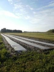 Plastic mulch in west field