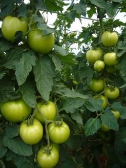 Hoophouse tomatoes