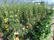 Hoophouse tomatoes
