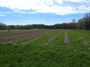 Pea beds with clover strips