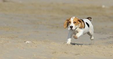 36 beagles destinés à être tués après avoir subi des tests scientifiques