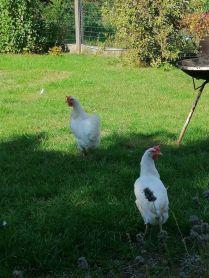 poules sauvées de l'abattoir
