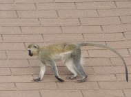 There were lots of black-faced vervet monkeys, and it was fun to watch scampering from tree to roof-top.