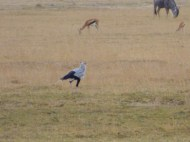 Secretary Bird! These are quite funny looking, and large! Just striding along the plain.