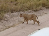 Timan said this lioness looks pregnant.