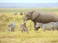 Elephants do not seem to mind zebras at all, but we saw one give a wildebeest a smack with its trunk once!