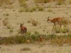Sweet impala babies.