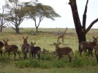 Herd of waterbuck, and a giraffe looking on.