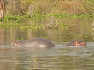 The hippo on the left is a baby, standing on its mother's back! They aren't strong swimmers.