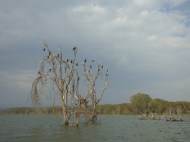 The water levels of Lake Naivasha rose significantly about 4 years ago, so there are a lot of dead trees standing out in the water like this. Here it is full of cormorants - birds that dive for fish.