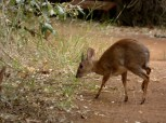 "Dik dik are the smallest antelope. Only about 12-15"" high at the shoulder."