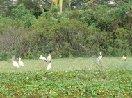 Spoonbills, storks, and a heron.