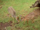 Dik dik & Suni (two smallest antelopes)