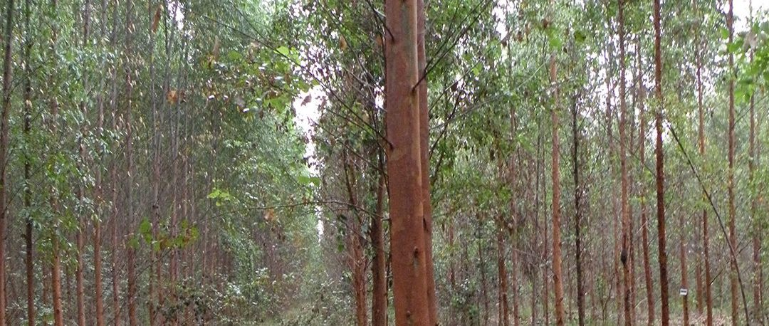 Video: Genetically Engineering Trees to Grow More Densely–Social & Ecological Impacts