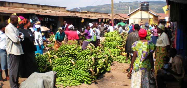New GM banana bound for Uganda set for human testing at Iowa State