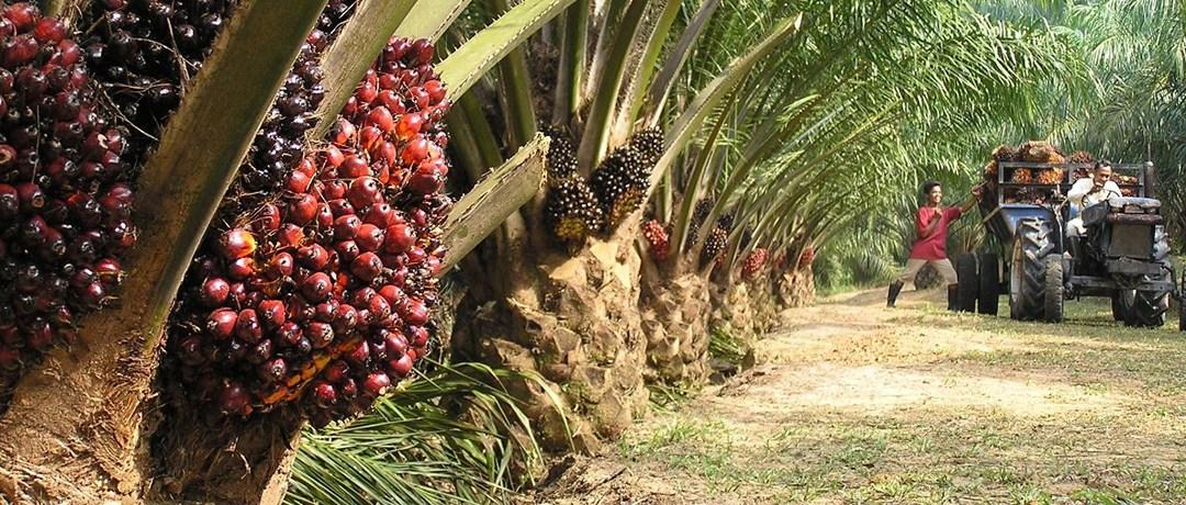 PepsiCo, McDonald's, Nestle Bringing Conflict Palm Oil to Market