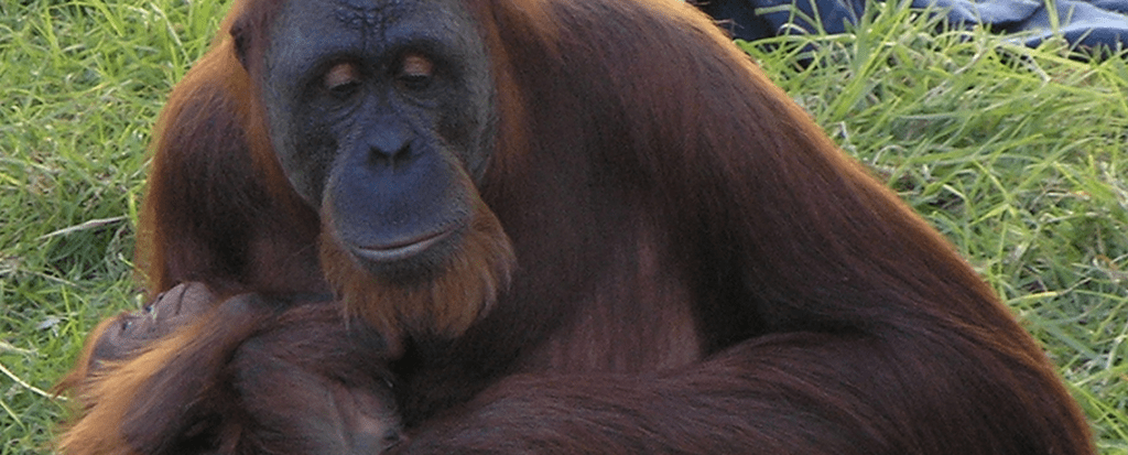 WATCH: Orangutans Threatened by Deforestation for Palm Oil