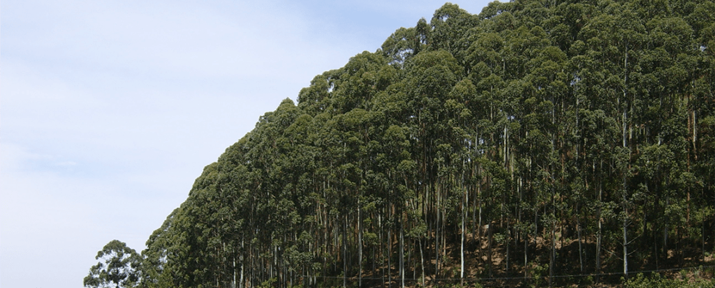 Monoculture Eucalyptus Plantations Caused Deadly Wildfires