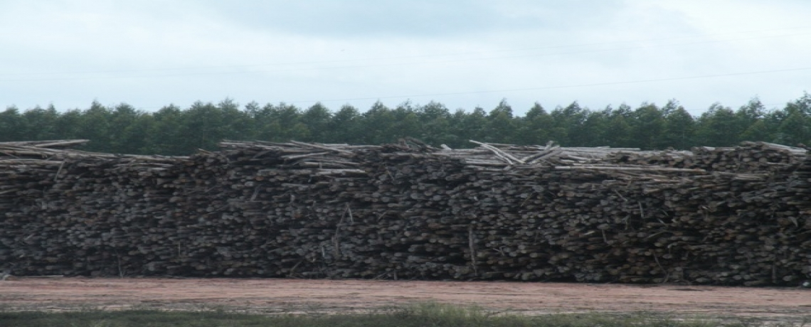 Brazil Photo Essay: Eucalyptus plantation – from clones to pulp mill
