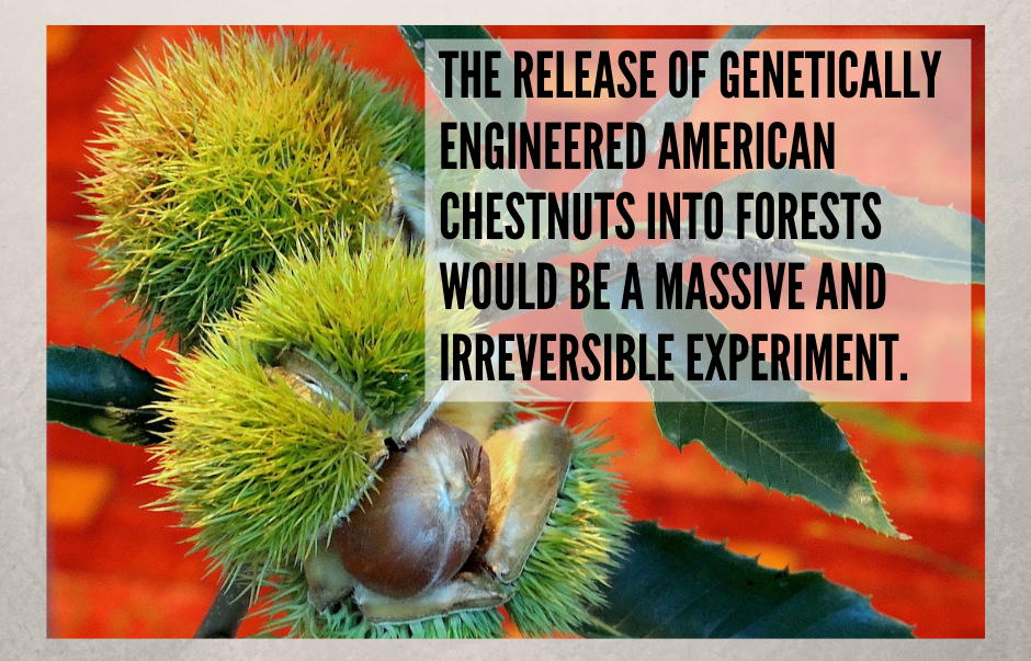 Genetically Engineered American Chestnut Tree: A Risk Not Worth Taking