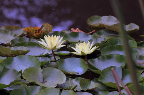 Yellow Water Lilies 1