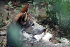 Mexican Grey Wolf 2