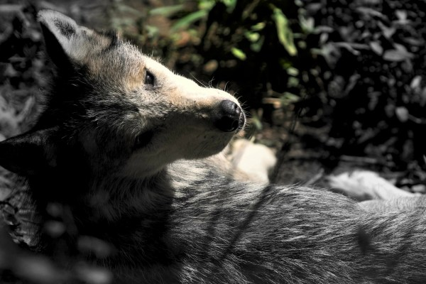 Mexican Grey Wolf (Low Color)   Stop. Look. Shoot.