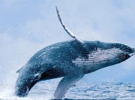 ecojustice - whale