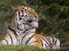 Big cats - Tigers Beautiful 01