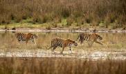 Big cats - Tigers Beautiful 09