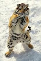 Big cats - Tigers Beautiful 17