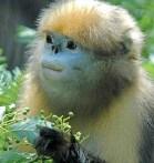 Monkeys - 05 guizhou-snub-nosed