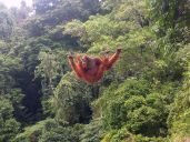 Monkeys - Orangutan in tree