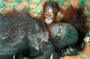 Orangutans 04