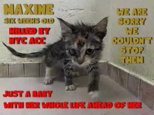 Homeless pets - NYC AC&C killed cat Maxine