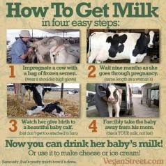 Factory farming - dairy milk how to get