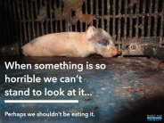 Factory farming - pigs something horrible