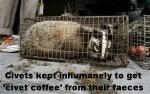 Message - Coffee civet