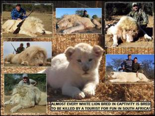 Lions - Trophy hunting 15