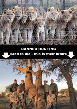 Lions - Trophy hunting 43