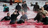 16 Oceans and rivers - Dolphin slaughter in Denmark and Japan 02