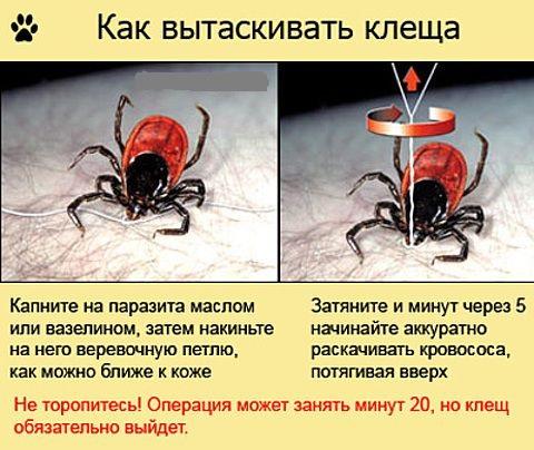 Как выглядит клещ и его укусы - фото, описание