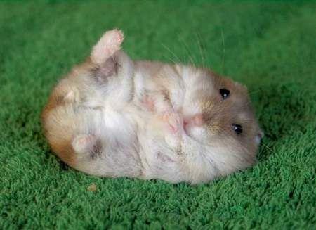 hamster_trop_mignon