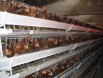 poules_cages