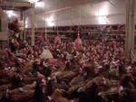 poules_sol