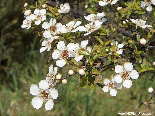manuka_tea_tree_38