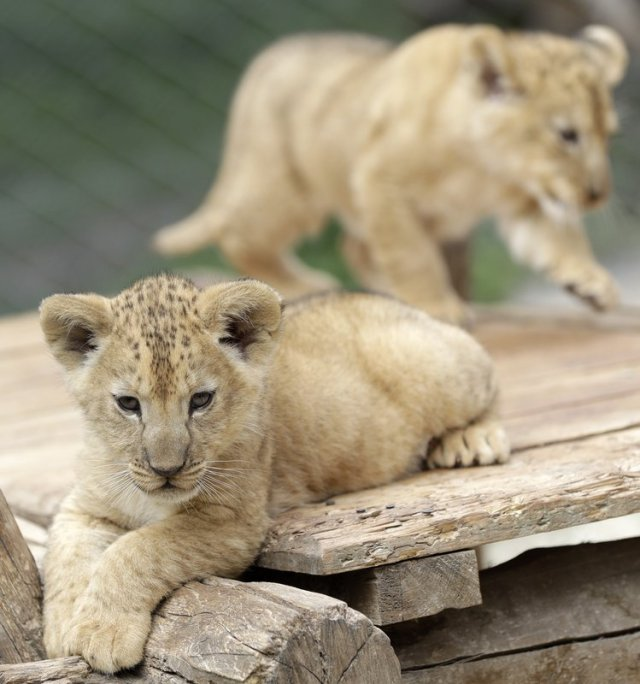 Two Barbary lion cubs rest in their enclosure at the zoo in Dvur Kralove, Czech Republic, Monday, July 8, 2019. Two Barbary lion cubs have been born in a Czech zoo, a welcome addition to a small surviving population of a rare majestic lion subspecies that has been extinct in the wild. A male and a female that have yet to be named were born on May 10 in the Dvur Kralove safari park. (AP Photo/Petr David Josek)